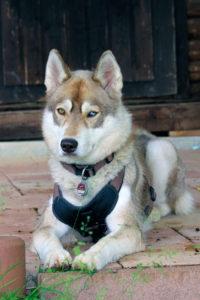 Kira resting