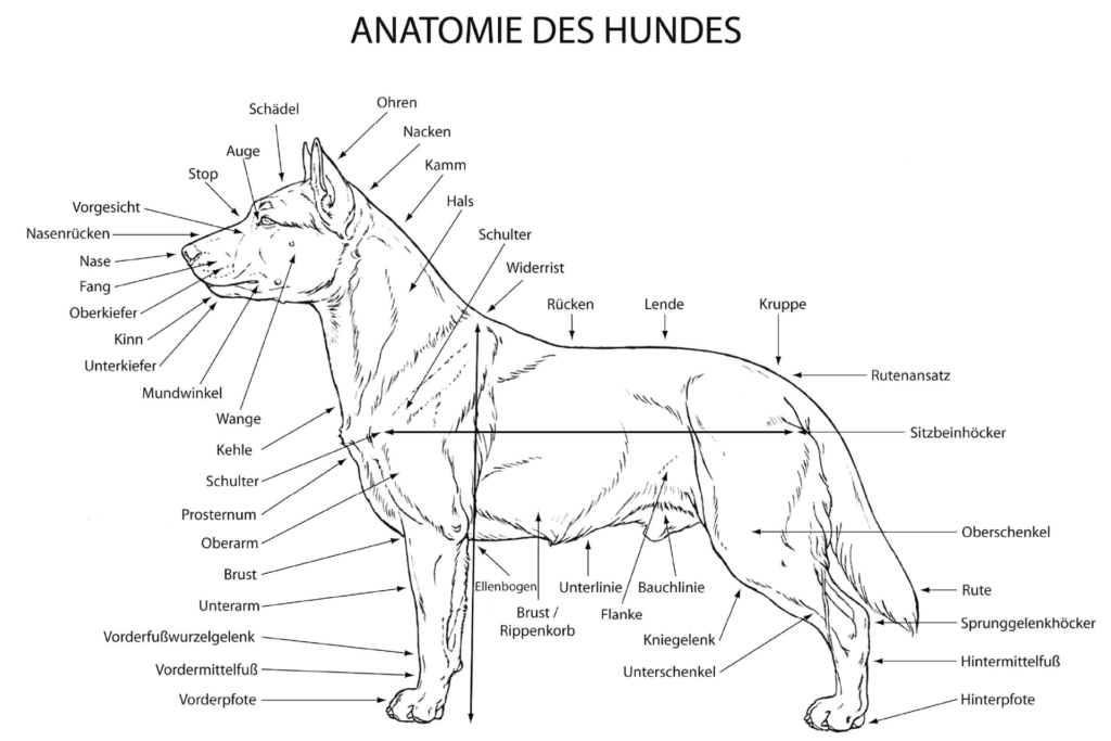 Grafik zur Anatomie des Hundes