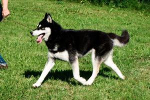 Brendan of Kahnawake, genannt Koda, 16 Monate alt